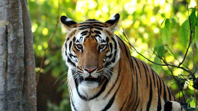 160516125926-tiger